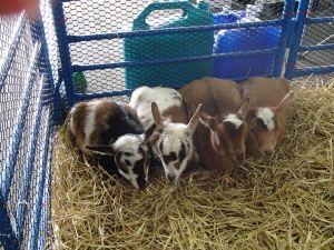 mini goats!